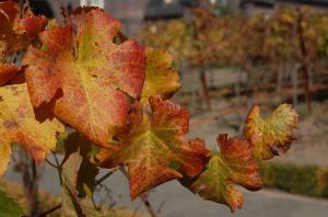 sf_autumn-grapeleaves