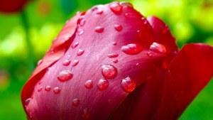 tulip-341677__180