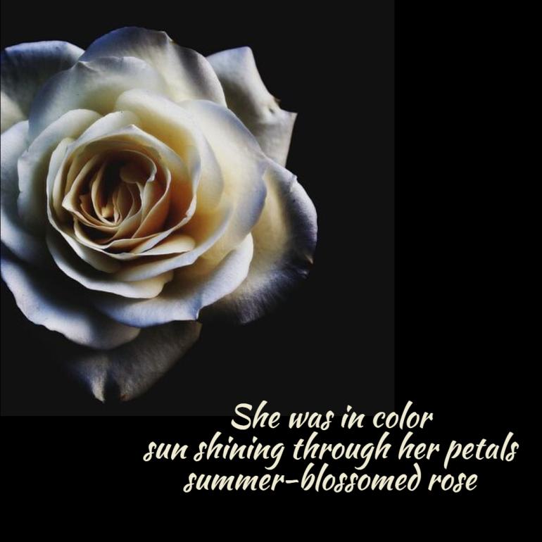 seasonal-summer-summer-rose